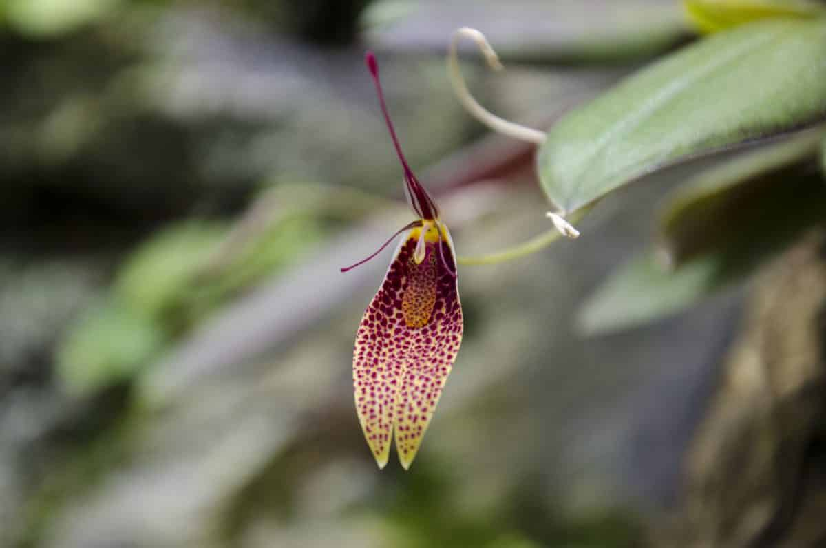 Orchids at the Quito Botanical Garden, Ecuador