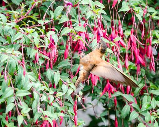 A Shining Sunbeam Hummingbird among the fuschias; Papallacta, Ecuador | ©Angela Drake
