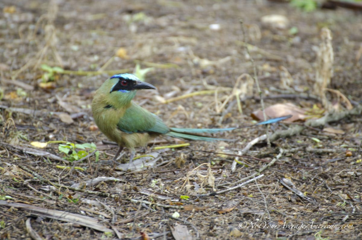 A Blue-crowned Motmot, Chirije Lodge, Manabi, Ecuador