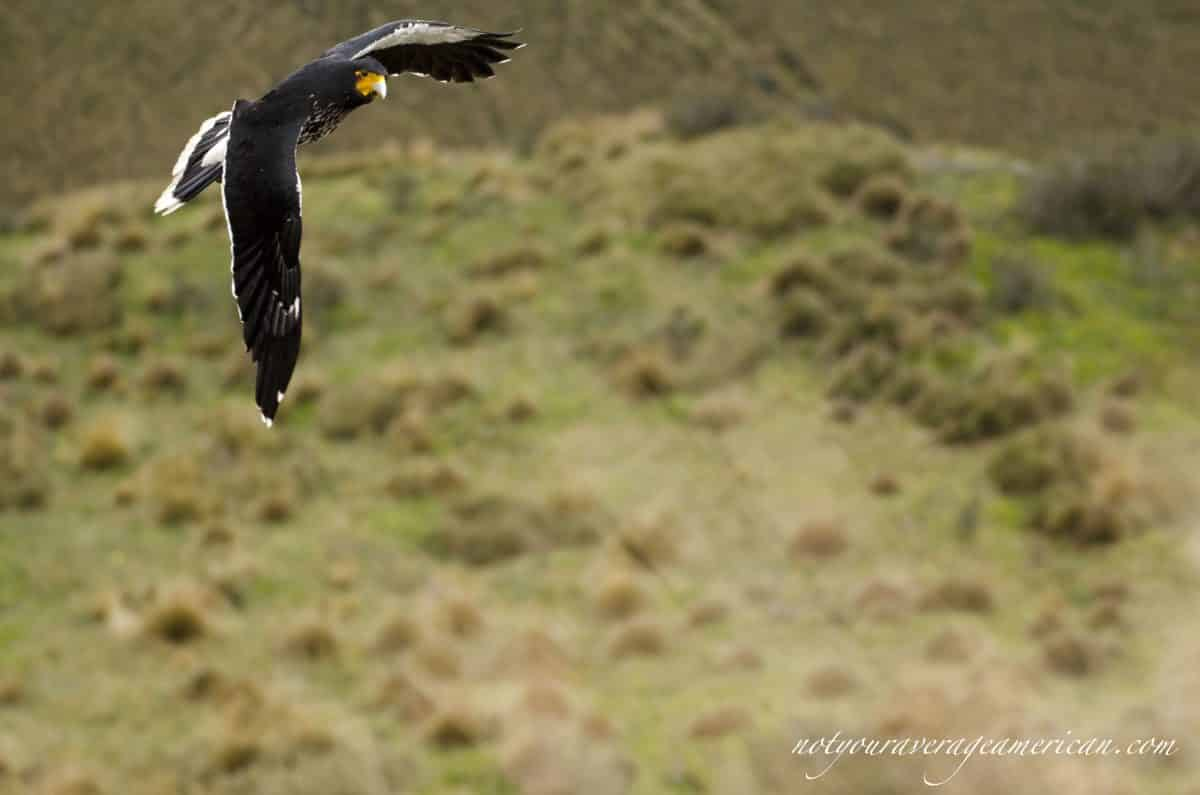 Coming to check out our lunch - the Carunculated Caracara on Rucu Pichincha, Quito, Ecuador | ©Angela Drake