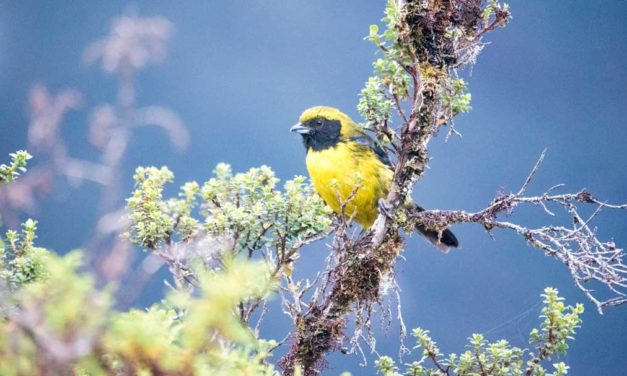The Best Birding Around Papallacta, Ecuador