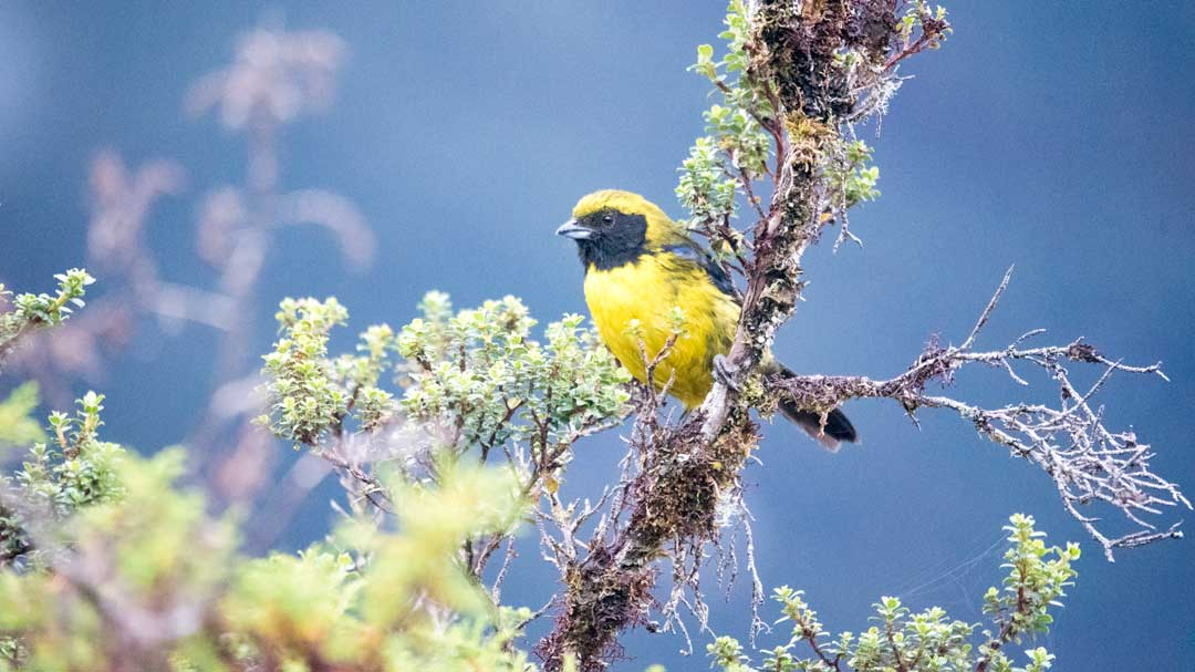 A rare Masked-Mountain Tanager; Coca Cayambe National Park, Papallacta Entrance, Ecuador | ©Angela Drake