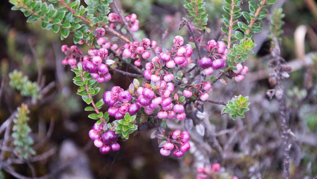 Pink Berries; Coca Cayambe National Park, Papallacta Entrance, Ecuador | ©Angela Drake