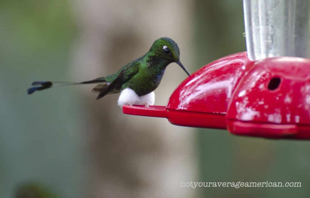 Booted Racket-tail Hummingbird, Bellavista, Tandayapa, Ecuador | ©Angela Drake