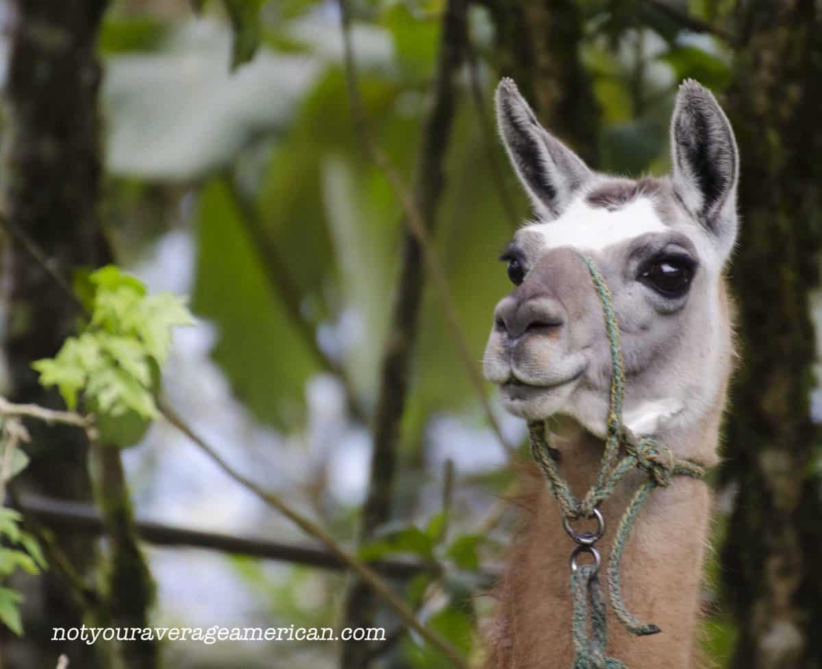 A llama wonders about the unexpected guests wandering around on the property;  Panticucho, Baños, Ecuador | ©Angela Drake