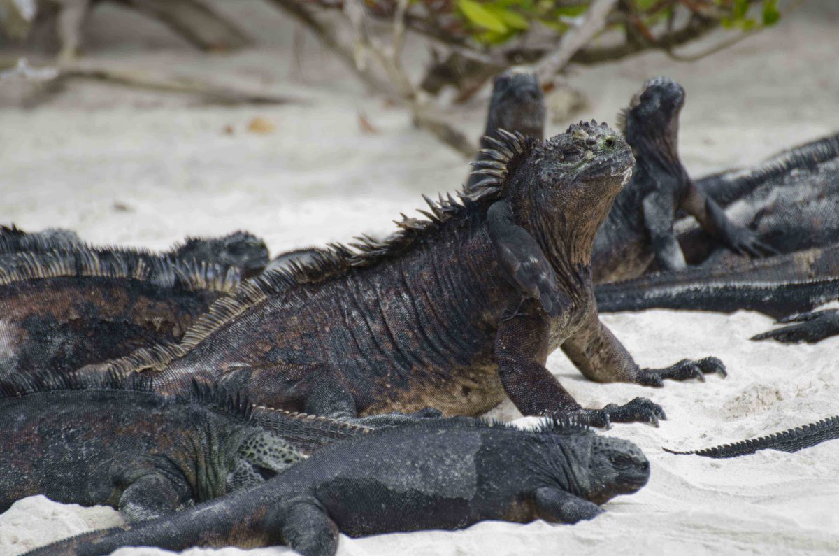 Iguanas loved having small finches help remove small pieces of dead skin | ©Angela Drake
