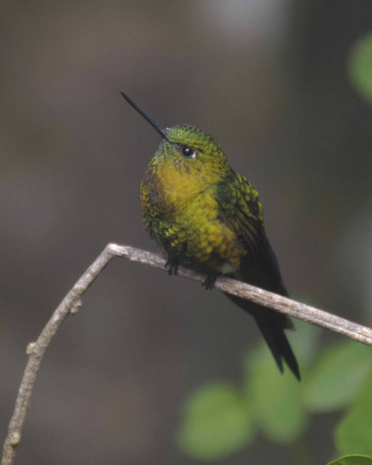 The Golden-breasted Puffleg can look very small when perched | ©Angela Drake