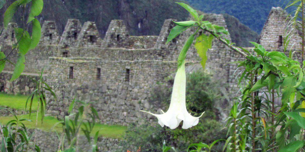 Flowering Datura