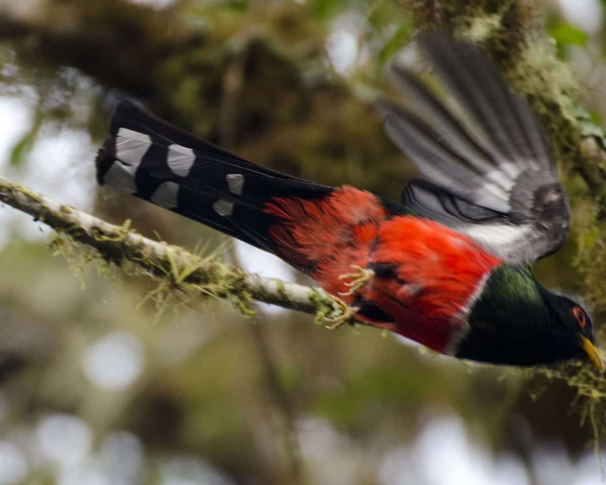 A male Masked Trogon barely caught in flight | ©Angela Drake