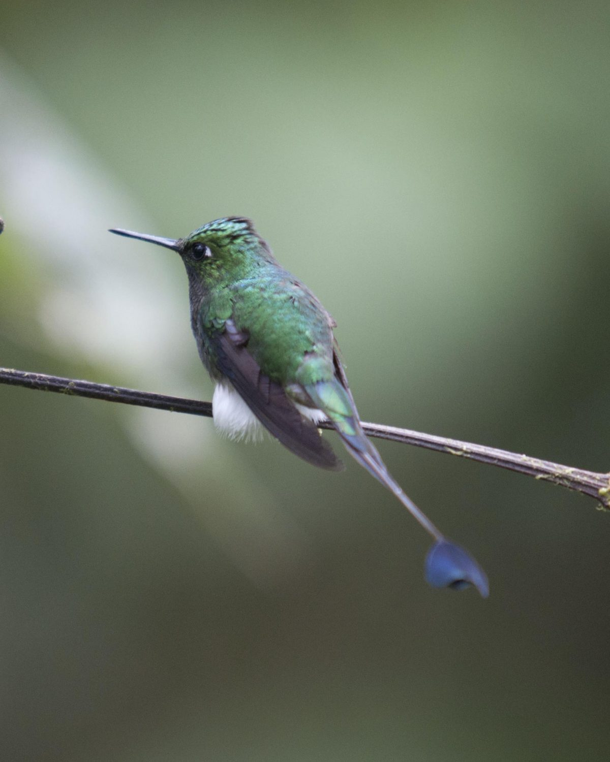 Booted Rackettail hummingbird | ©Angela Drake