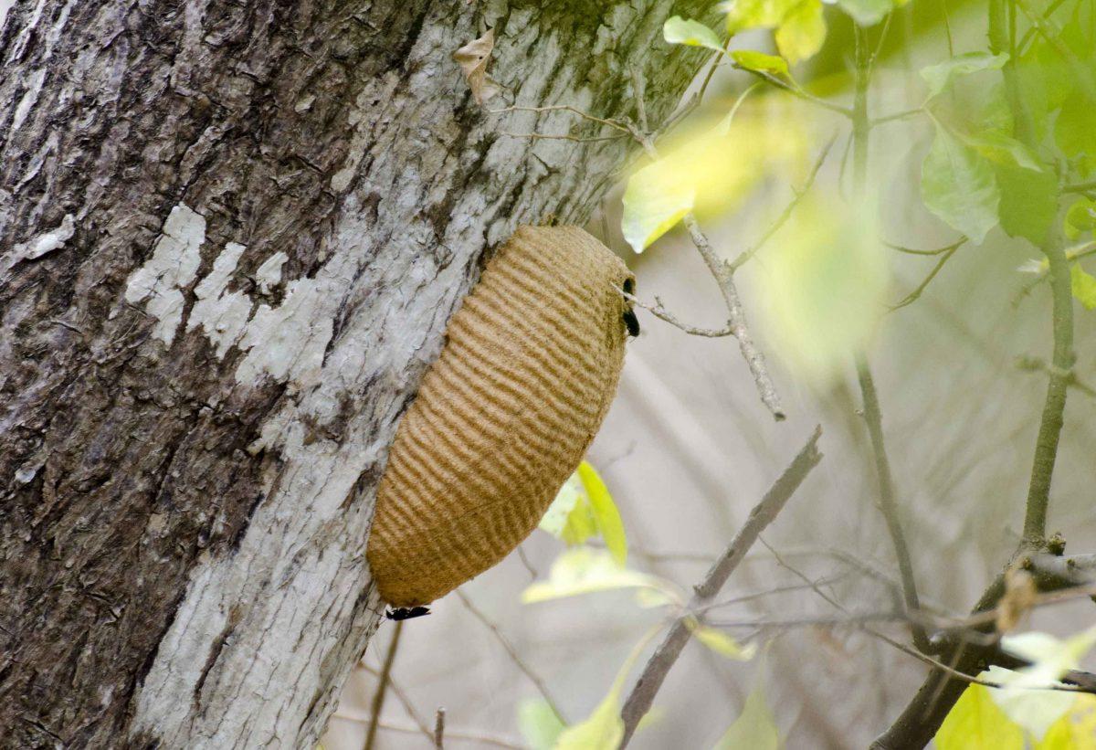 Wasp's Nest, Bosque Cerro Blanco, Guayaquil, Ecuador