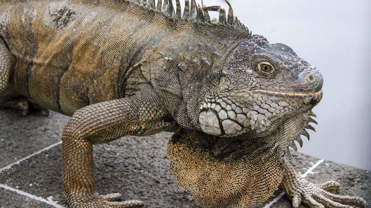 Iguana On the Move
