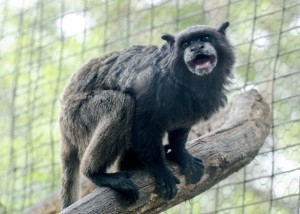 Vocal Tamarin