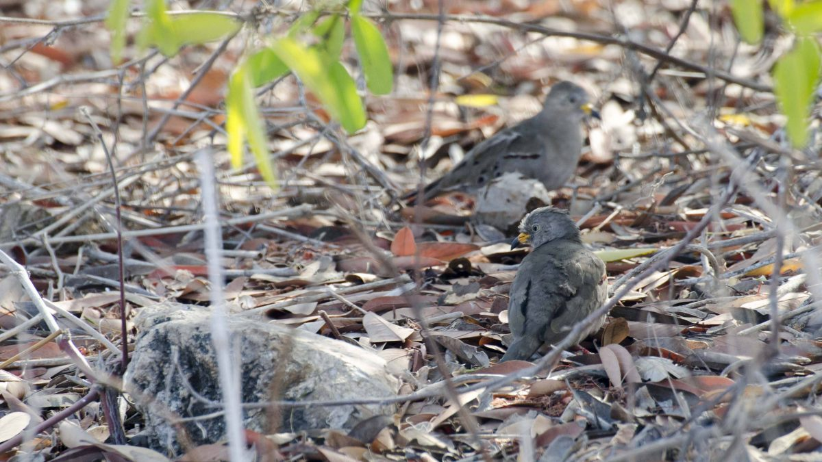Croaking Ground Doves, Salinas, Ecuador