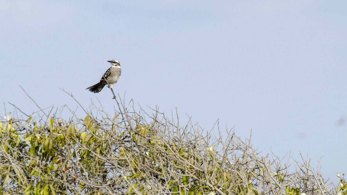 Long-tailed Mockingbird, Salinas, Ecuador