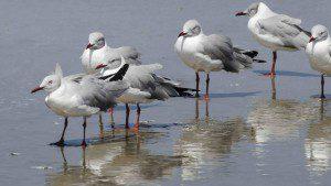 Grey-hooded Gulls