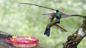 Hummingbird Tussle