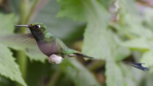 Booted-Rackettail