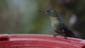 Violet-tailed Sylph Female