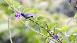 Violet Headed Hummingbird