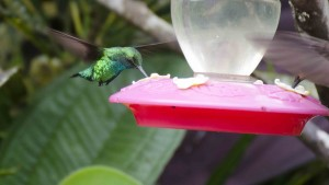Unidentified Hummingbird from Alambi