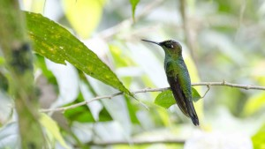 Unidentified Hummingbird from WildSumaco