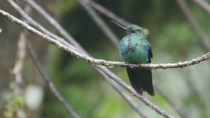Unidentified Hummingbird from Yanacocha