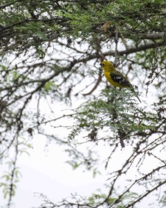 Golden-bellied Grosbeak, female