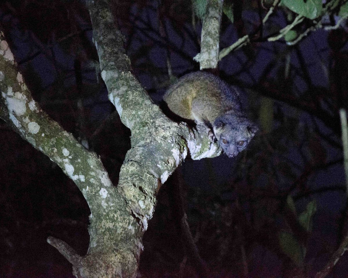 An Olinguito in Tandayapa | ©Angela Drake