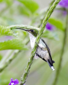 Female Purple-bibbed Whitetip Hummingbird