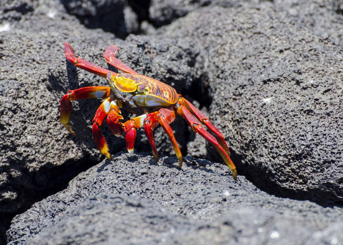 Sally Lightfoot Crab, Las Tintoreras, Isla Isabela, the Galapagos