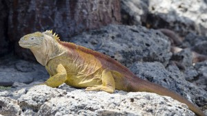 Golden Iguana, male