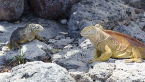 Golden Iguanas, female and male