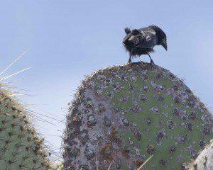 Cactus Finch, male