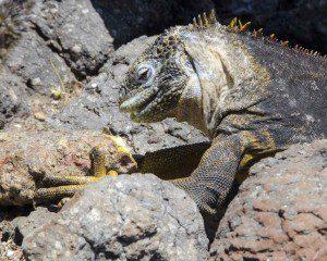 Golden Iguana eating Prickly Pear Cactus fruit