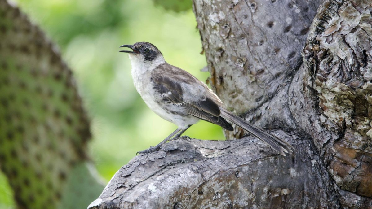 Galapagos Mockingbird, Charles Darwin Research Center, San Cruz Island, The Galapagos
