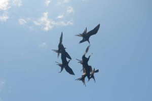 Frigate Birds waiting for their turn