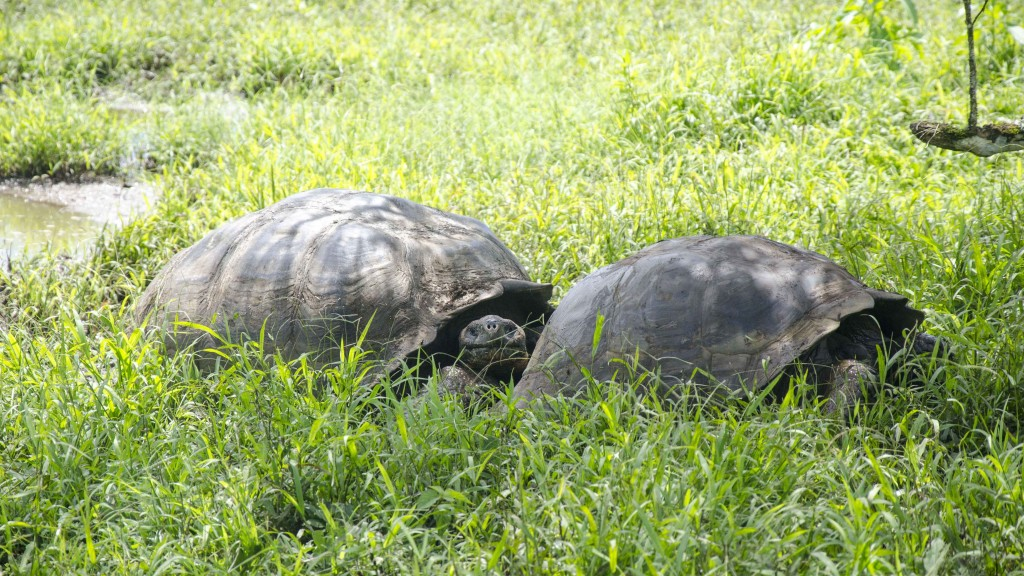 Mating Pair of Tortoises