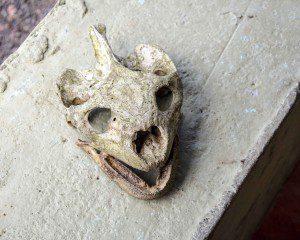 Tortoise Skull