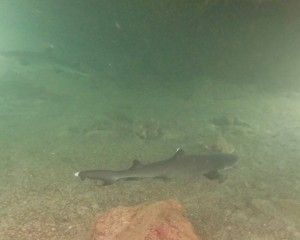White-tipped Reef Shark, Los Tuneles, Isla Isabela, The Galapagos