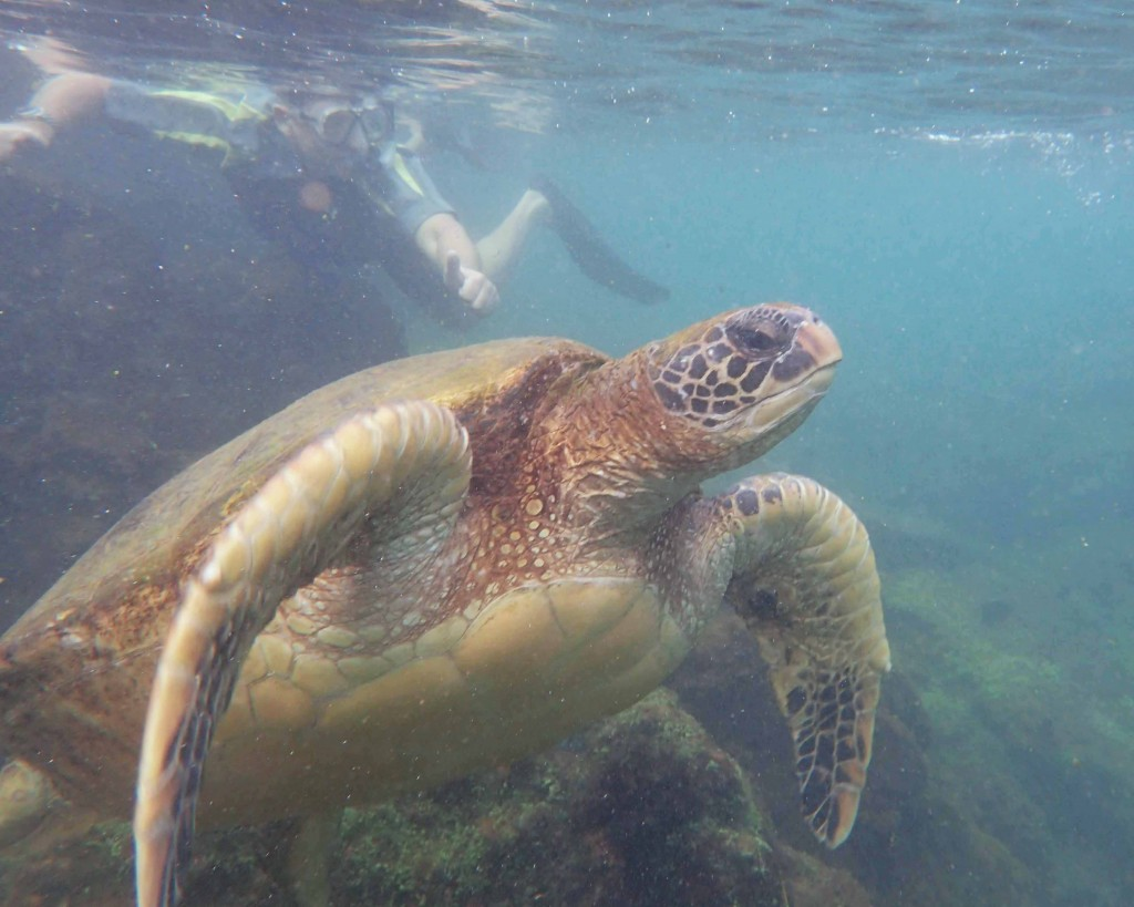 Sea Turtle, Los Tuneles, Isla Isabela, The Galapagos