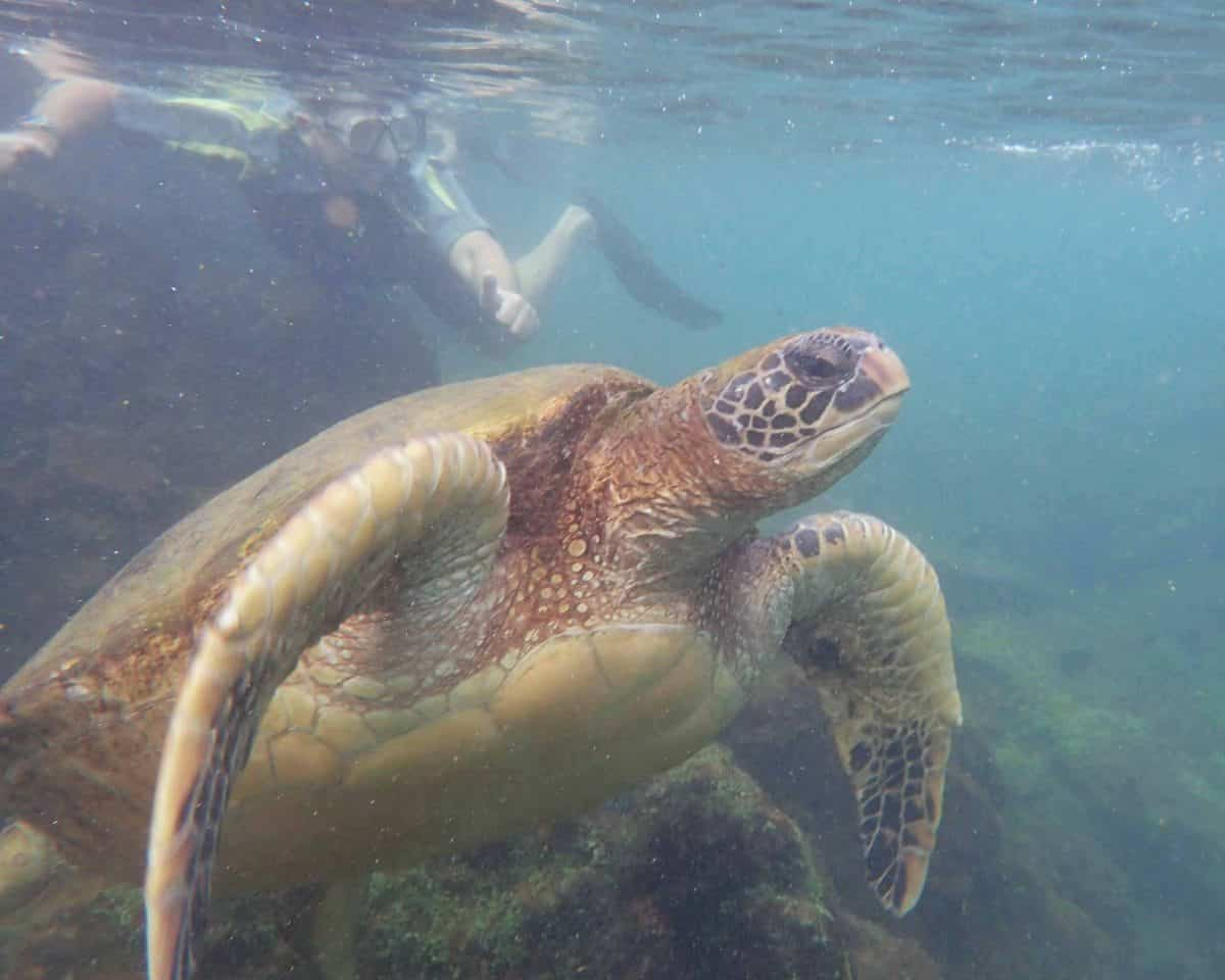 Sea Turtle, Los Tuneles, Isla Isabela, The Galapagos