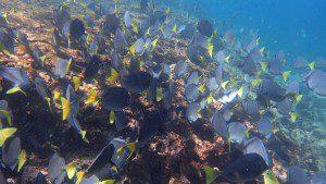 Razor Surgeonfish - Prionurus laticlavius