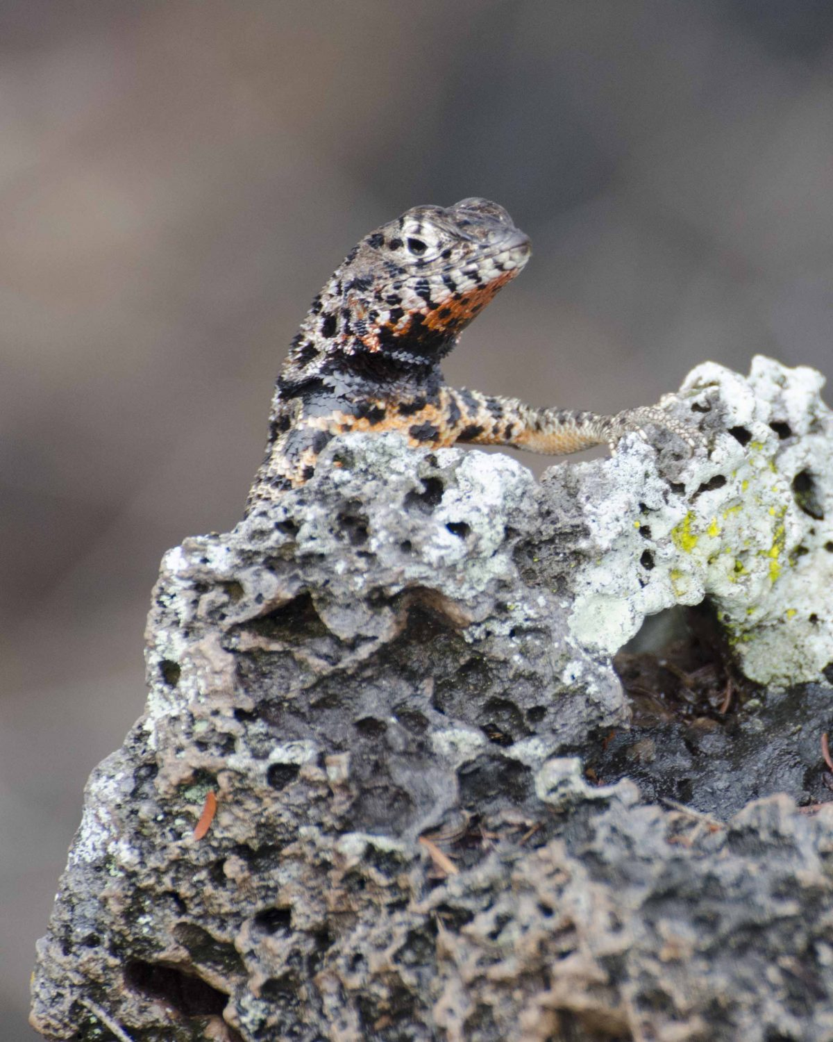 Lava Lizard, the Galapagos