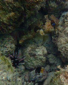 Galapagos Pufferfish