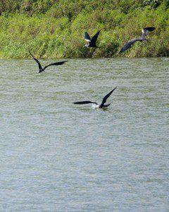 Frigate Birds, El Junco