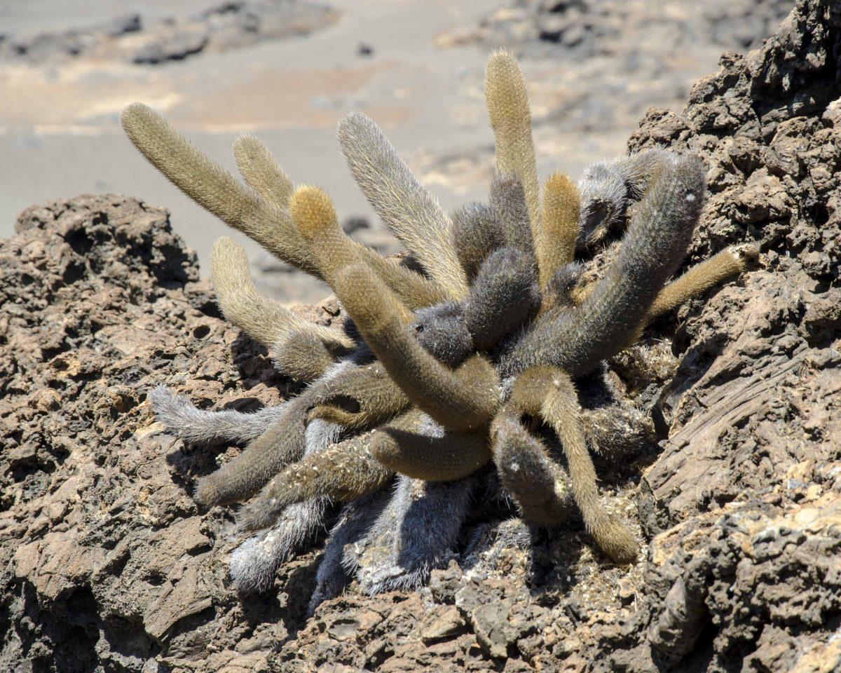 Lava Cactus, Bartolome Island, the Galapagos.