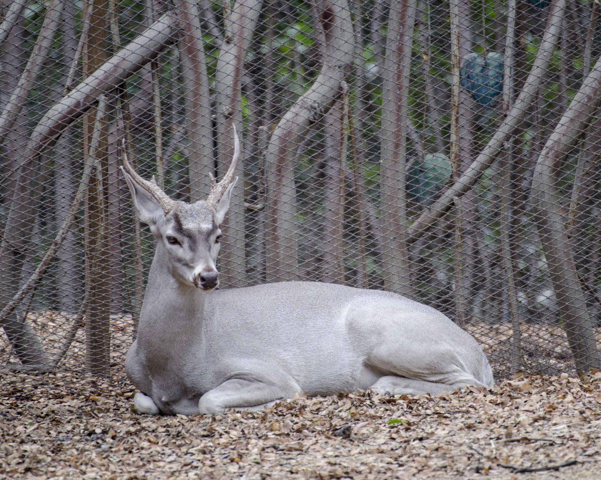 Deer, Parque Histórico, Guayaquil, Ecuador