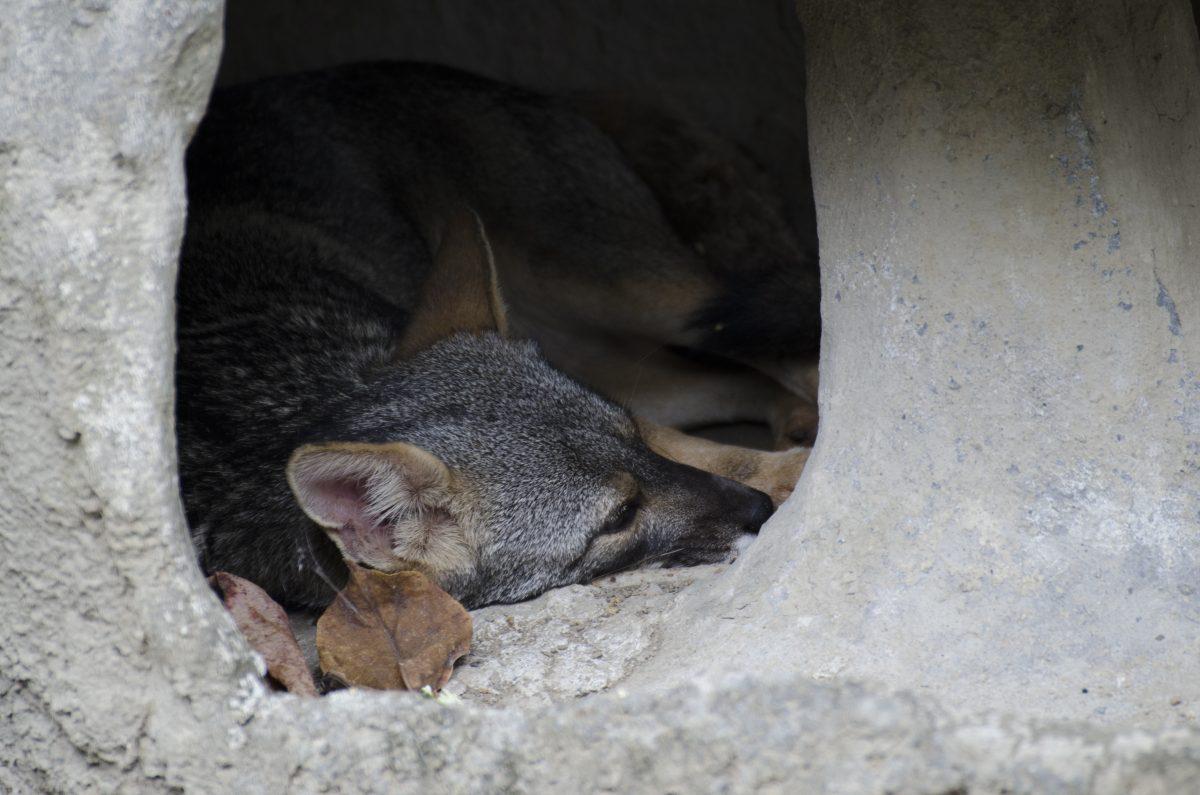 Fox, Parque Histórico, Guayaquil, Ecuador