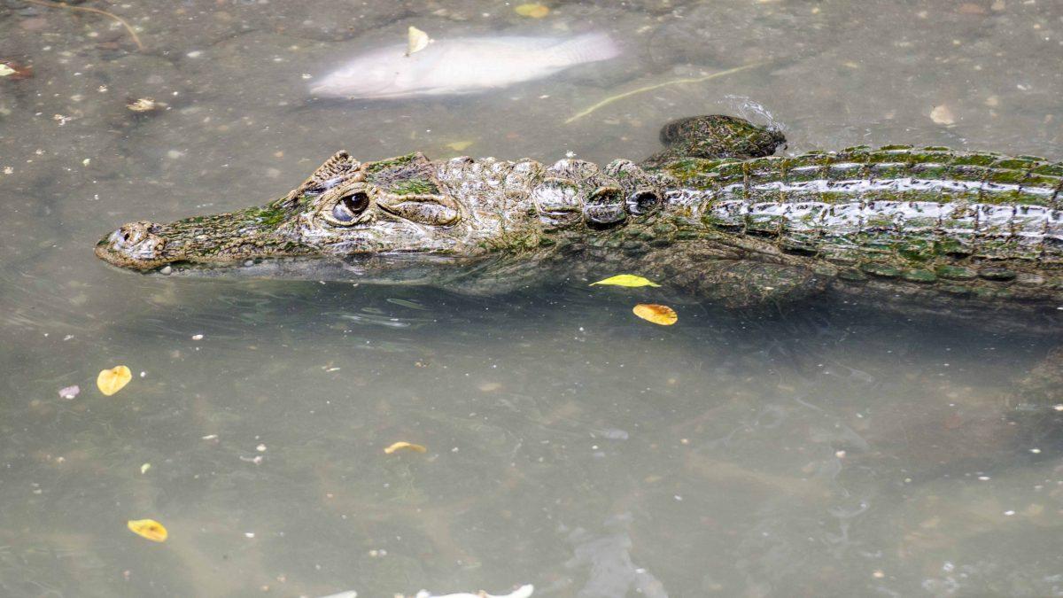 Crocodile, Parque Histórico, Guayaquil, Ecuador